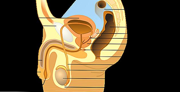 vescicola seminale destra e disfunzione erettile