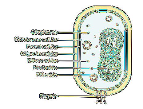 Le cellule eucariote e procariote 19